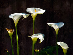 'Calla Lilies' (Canadapt) Tags: callalily flowers backlight lisbon portugal canadapt