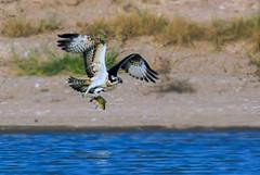 22104609_1166543440143221_7634623934439315223_o (TARIQ HAMEED SULEMANI) Tags: sulemani tariq tourism trekking tariqhameedsulemani winter wildlife wild birds nature nikon