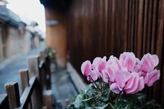 Ponto-chō (ababhastopographer) Tags: kyoto winter morning alley fower sazanka camellia pontochō camelliasasanqua 京都 先斗町 路地 冬 朝 サザンカ 山茶花? 元旦 新年 正月 newyear