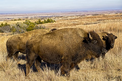 American Bison (J K German) Tags: bison american buffalo greatplains kansas grassland pasture cow calf calves landscape