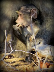 They are going to take me....!  ( Baboon baby )  /  baba bobbejaan (Pixi2011) Tags: baboons krugernationalpark southafrica africa nature animals art