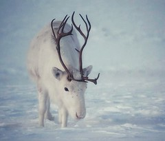 White beautiful reindeer (dinni69) Tags: reindeer reinsdyr norway nordnorge beauty elgsnes harstad vinterstemning vinter visitnorway winter norge upnorth naturephotography naturfotograf