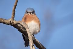 Eastern Bluebird (mnolen2) Tags: nature bluebird eastern