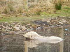 Hamish in for a swim, Highland Willife Park, Kincraig, Mar 2019 (allanmaciver) Tags: highland wildlife park kincraig scotland hamish polar bear wild animal swim play amazing wonderful allanmaciver