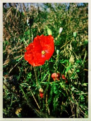 In Flanders Fields (Explored) (Julie (thanks for 8 million views)) Tags: papaverrhoeas commonpoppy armisticeday flower 100flowers2018 red hipstamaticapp wexford ireland irish flora wildflower ww1 inexplore