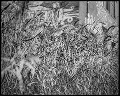 in the wild grasses, warehouse, River District, Asheville, NC, Koni Omega Rapid 100, Super Omegon 80mm f-3.5, Arista.Edu 200, Ilford Ilfosol 3 developer, 11.2.18 (steve aimone) Tags: grasses wildgrasses intheweeds warehouse graffiti riverdistrict asheville northcarolina koniomega koniomegarapid100 superomegon90mmf35 kodaktmax400 ilfordilfosol3developer primelens 6x7 120 120film film mediumformat monochrome monochromatic blackandwhite