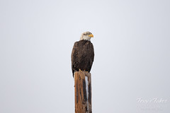 Young Bald Eagle keeping watch