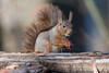 Hoernchen-2018-3208.jpg (Joachim Dobler) Tags: eichhörnchen eichhoernchen squirrel écureuil ardilla scoiattolo esquilo nature natur nagetier esquito wildlife animal cute naturephotography squirrellove wildlifephotography bestsquirrel nutsaboutsquirrels cuteanimals