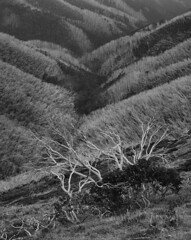 Snow Gums and Alpine Ash (Mark Darragh Photography) Tags: monochrome alpineflora landscape botany fire bushfire blackandwhite arcaswiss schneider film 4x5 arcaswissuniversalis4x5 snowgum alpineash eucalyptus