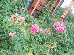 351 (en-ri) Tags: rose roses cespuglio bush sony sonysti verde foglie leaves