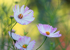 Cosmos (mclcbooks) Tags: flower flowers floral cosmos denverbotanicgardens colorado bokeh