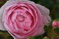 Rose 'Sharifa Asma' raised in UK (naruo0720) Tags: rose englishrose sharifaasma englishrosecollection バラ イギリスのバラ シャリファアスマ イギリスのバラコレクション nikonscamera sigmalenses d810 sigma105mmf28exdgoshsm