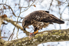 7K8A3334 (rpealit) Tags: scenery wildlife nature conowingo dam susquehanna river maryland immature bald eagle eating fish bird