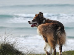 Maddie (LouisaHocking) Tags: perranporth cornwall dogs pets collies bordercollie collie beach sea seaside