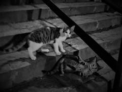 IMG_E8623 (2) (kriD1973) Tags: europe europa italia italien italie italy campania kampanien campanie salerno salerne pets haustiere animali domestici cat gatto katze chat pet cats gatti chats katzen gato felino animal animale tier black white monochrome