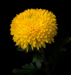 Chrysanthemum 'Rainbow Sunset' (annabelleny Thank you for your many views and comm) Tags: flower floral chrysanthemum chrysanthemumrainbowsunset' fall garden onblack annjacobson