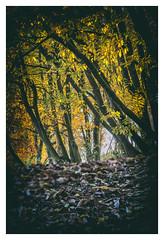 couleurs et lumières d'automne (Des.Nam) Tags: arbres feuiles automne couleur color nikon nikond800 d800 bois sousbois forêt wood desnam autumn deadleaves leaves automnal 70200f28 pdc dof douceur