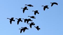Geese in the Circuit (BIKEPILOT, Thx for + 4,000,000 views) Tags: geese canadageese birds flight flock flying silhouette sky animal wildlife nature naturalworld sandhurstmemorialpark sandhurst berkshire uk england britain fauna waterfowl goose