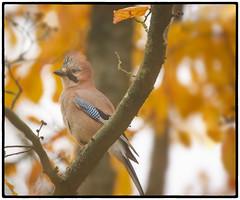 Autumn (CliveDodd) Tags: jay garrulus glandarius autumn