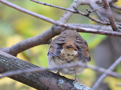 Hermit Thrush (Smith Birding) Tags: catharusguttatus thrush hermitthrush chicago billjarvismigratorybirdsanctuary coolpixp1000 nikon birds
