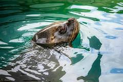 Un bañito (Luis JG) Tags: animales madrid teleobjetivo zoo león marino sealion agua water telephotolens bigote mustache wild salvaje annimal canoneos5dmarkiv ef70200mmf28lisiiusm
