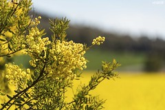 Seeing Double (red stilletto) Tags: northeastvictoria dookie canola spring wattle farm farming