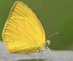 Oriental Common Grass Yellow (@nikondxfx (instagram)) Tags: bani d750 delhi faridabad india mangar ncr nikkor nikon city fullframe wildlife butterfly lepidoptera yellow euremahecabehecabe oriental commongrassyellow