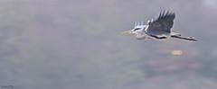 Grey Heron (ianbartlett) Tags: outdoor mist murk wildlife nature birds seal bull water river pylons colour loght