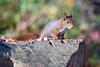 Hoernchen-2018-3318.jpg (Joachim Dobler) Tags: eichhörnchen eichhoernchen squirrel écureuil ardilla scoiattolo esquilo nature natur nagetier esquito wildlife animal cute naturephotography squirrellove wildlifephotography bestsquirrel nutsaboutsquirrels cuteanimals