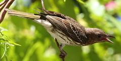 Figbird (Female)101018 (11) (F) (Richard Collier - Wildlife and Travel Photography) Tags: australia australianbirds birds wildlife naturalhistory nature figbird easternaustralia ngc npc