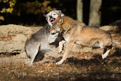 eastern timber wolves have an disagreement (Cloudtail the Snow Leopard) Tags: wolf tier animal mammal säugetier beutegreifer timberwolf canis lupus lycaon canide easter timber algonquin deer fight bite biting wildpark wildtierpark bad mergentheim