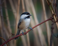 Bird on a Wire (Kathy Macpherson Baca) Tags: bird birds aves feathers fly chickadee world tiny wildlife planet cute forest preserve