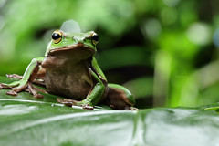 2J4A8059 (ajstone2548) Tags: 12月 樹蛙科 兩棲類 翡翠樹蛙