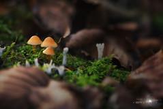 Macro Opakua (Javier Colmenero) Tags: euskadi nikon nikond7200 opakua otoño paisvasco sigma sigma105mm sigmalens autumn bokeh bokehphoto forest macro macrophoto macrophotosetas mushroom naturaleza nature naturephoto