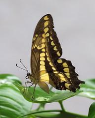 Bolivian Butterfly (Treflyn) Tags: butterfly la quinta totaices santa cruz de sierra bolivia
