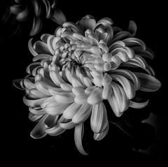 chrysanthemum in b&w (marinachi) Tags: chrysanthemum black bw white flower cof046dmnq cof046mari cof046cott cof046mark cof046hole cof046cg