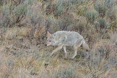Slipping away (ChicagoBob46) Tags: coyote yellowstone yellowstonenationalpark nature wildlife naturethroughthelens ngc coth npc coth5