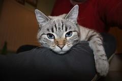 Esmé (charliejb) Tags: esmé cat feline kitten moggy moggie 2018 bristol westburyontrym grey striped white