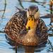Mottled Duck - Anas fulvigula, Green Cay Nature Center, Boynton Beach, Florida