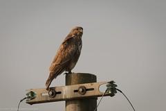 Poiana (Buteo buteo) (vilma.remondetto) Tags: poiana buteo rapace birds piemonte vercelli uccelli nature wild