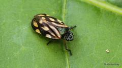 Froghopper, Cercopidae (Ecuador Megadiverso) Tags: amazon andreaskay cercopidae cercopoidea ecuador froghopper hemiptera rainforest spittlebug tropic truebug
