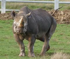 Yorkshire Wildlife Park...    10.12.2018 307 (Andrew Burling (SnapAndy1512)) Tags: yorkshirewildlifepark10122018 yorkshirewildlifepark yorkshire blackrhino rhino animals zoo
