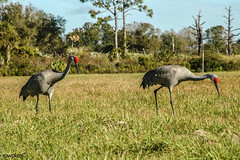A pair of Sandhill cranes search for food on the grounds. Original from NASA. Digitally enhanced by rawpixel. (Free Public Domain Illustrations by rawpixel) Tags: animal bird climatechange environment environmentalconservation florida food forest geography globalwarming ground jungle kennedyspacecenter name nature pdnasa photography publicdomain sandhillcranes searching wild wildlife