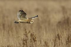 K32P2295a1  Short-eared Owl, Burwell Fen, December 2018 (bobchappell55) Tags: burwellfen cambridgeshire nationaltrust wild bird wildlife nature