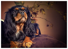 Melody (Pepenera) Tags: dog dogs cane cani cavalier portrait autumn lautunno