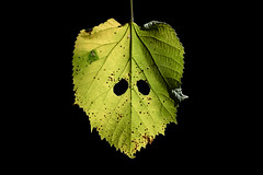 SCARED (krisztian brego) Tags: sony a7 ii ilce7m2 samyang 135mm f20 ed umc nature leaf eyes magyaregregy green fall autumn manual focus samyangcsc135mmf20edumc