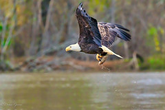 Head for the Barn (dngovoni) Tags: virginia action autumn background bird eagle fall fish flight jamesriver raptor water wildlife henrico unitedstates us
