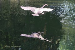 The flight of the swan (jackfre 2) Tags: belgium bazel swan flying bird