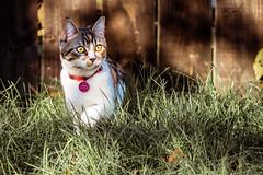 Prowling (jameslf) Tags: animal berkshire cat garden home kitten maple pet reading
