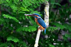 Common Kingfisher (Silvio Astengo) Tags: kingfisher commonkingfisher alcedoatthis martinpescatore mila23 deltadunarii danubedeltabiospherereserve danubedelta danube